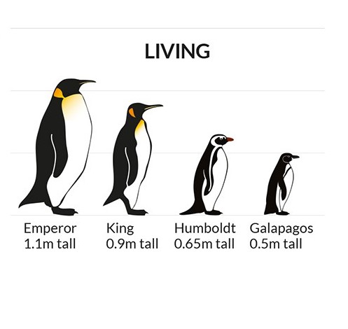 penguin sizes